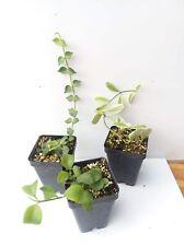 Lot of Dischidia -'Geri', oiantha variegata, ruscifolia - Vivarium/ant plant