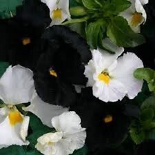 35+ Night and Day / Black and White Mix Viola / Shade-Loving Perennial Flower Se