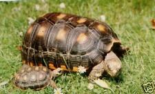 Tropical Tortoise mix Red & Yello Foots BUY 1 Get1 FREE