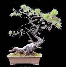 Pinus lambertiana - Sugar Pine - 10 Seeds