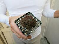 Euphorbia Monstrose Succulent -S
