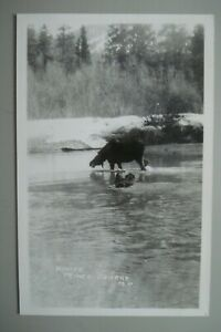 PRINCE GEORGE BRITISH COLUMBIA RPPC OF A MOOSE IN THE RIVER, PHOTO POSTCARD