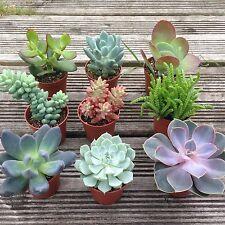 Set of 3 Mixed Succulent Plants In 5.5cm Pots. House Plants/Terrarium