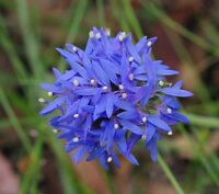 Blue Pincushion Seeds - Will Grow Almost Anywhere Hardy Evergreen Shrub
