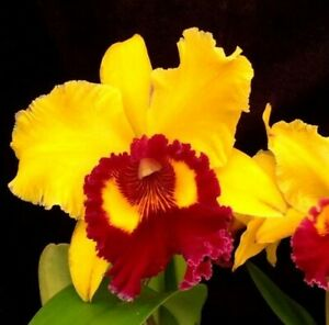 Orchid Cattleya Thong Suphan 'Siam'