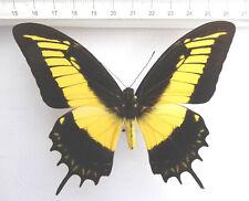 Papilio androgeus ex Kolumbien  n722