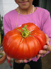 8 graines TOMATE GEANTE BURPEE DELICIOUS - RECORD DU MONDE (Lyc. esc.)N32 SEEDS