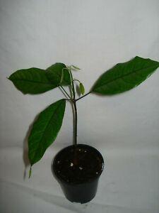 Cola Nitida seedling Kola nut rare tree