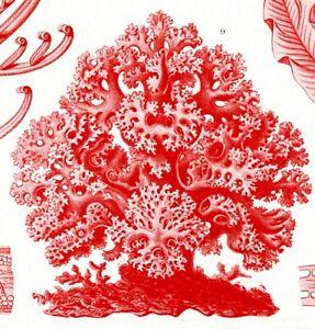 "Red Algae Illustration Ernst Haeckel's Kunstformen der Natur 4"" x 6"" - 16"" x 20"""