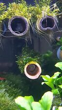 Monosolenium tenerum on bamboo tube with suction cup on the end for shrimp