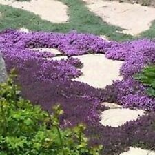 H019 Creeping Thyme x350 seeds Perennial Culinary Ground Cover Medicinal Aroma