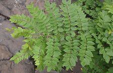 vMadre de Cacao Seed Tropical Fodder Living Fence Medicinal Gliricidia sepium