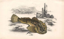 FATHER-LASHER. Myoxocephalus scorpius. short-spined sea scorpion. COUCH 1862