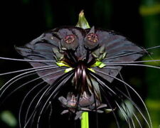 BLACK BAT FLOWER-Tacca Chantrieri (5 SEEDS)