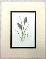 1913 Antico Botanico Stampa Uva Giacinto Fiore Viola Blu Floreale Art