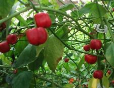 25+ Organic Rare Pepperdew Premium Pepper Seeds-D 55