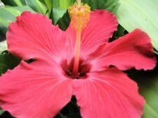 Painted Lady Tropical Hibiscus Plant Single Pink Maroon Throat Classic Heirloom