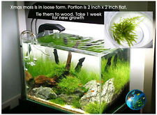 Xmas moss - for live shrimp freshwater fish aquarium A5