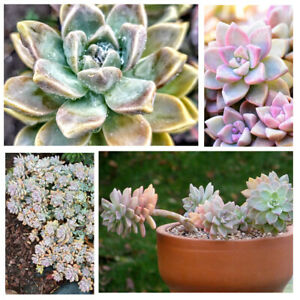 Graptosedum GHOSTY Cute Multicolor Live Succulent Plant - Free Shipping on $20+!