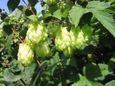 Hop - Wild Hop - 25+ seeds - MEDICINAL and BEER-PLANT!