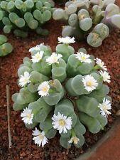 Opthalmophyllum Mixed (5-250 SEEDS) Rare Succulent Samen Korn Semi Graine  種子 씨앗