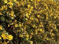 "Fragrant Carolina Yellow Jasmine jessamine Gelsemium 1 Gallon Roots & 18"" Vines"