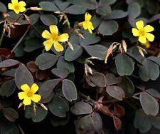 6 Purple Oxalis Yellow Black Burgundy Shamrock Iron Cross Lucky Plant Clover