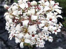"75+ Pure White Saxifraga ""Spring Snow"" Flower Seeds /Evergreen Perennial / Gift"