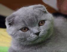Metal Magnet Closeup Face Gray Lilac Scottish Fold Cat Cats Magnet