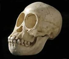 Juvenile Orangutan Skull Replica