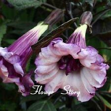 50 PC Black Datura Seeds,Brugmansia Angel Trumpets,Bonsai Tree Flower Seeds