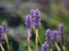 Pickerelweed 3 plants natural filter stop algae koi pond garden J&J Aquafarms