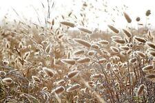 Lagurus ovatus Bunny's Tail Grass 100 Seeds Hardy Dwarf Ornamental UKFreeP&P