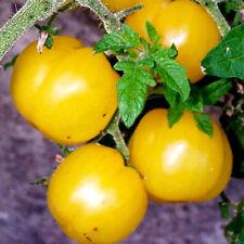 TOMATE  die würzigste gelbe WILDTOMATE über 1000 Früchte an einer PFLANZE