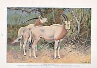 1910 Natural History Estampado Doble Costado Springbuck / Sable Antílopes ~