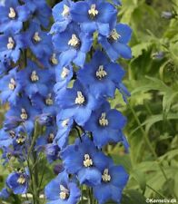 Delphinium Pacific Giants 'Blue Bird' - 30 Seeds - Hardy Perennial
