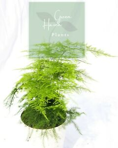 ASPARAGUS FERN 40CM - Houseplant - Indoor Plants - Gifts - Office