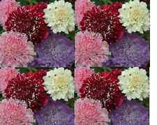 SCABIOSA Tall Double Flower Mix 100 seeds. 'Pin Cushion'. Cut flower