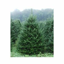 Abies Trees For Sale Ebay