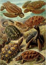 Ernst Haeckel Chelonia Tortoise Turtle Painting 8x10 Real Canvas Art Print