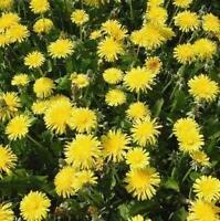 Wildflower Seeds - Dandelion - Tortoise Food - 1000 Seeds