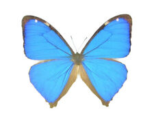 Morpho aega One Real Butterfly Blue Unmounted Wings Closed
