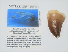 Mosasaur Dinosaur Tooth Fossil 1 3/4 to 2 inch Size Extra Large w/COA #248 5o
