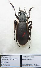 Carabus leptocarabus marcilhaci (male A2) from CHINA (Carabidae)