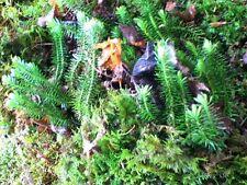 NEW ITEM Appalachian Shining Club Moss Vivarium Terrarium Garden Plants 1 qt bag