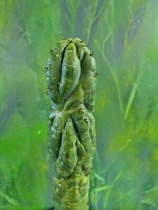 Tricho TPM X Peruvianus Sharxx Blue Monstrose Clone Collectors Cactus Plant 🌵