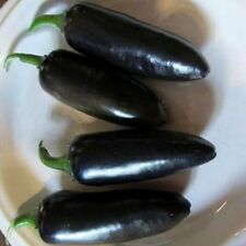 Black Jalapeno Pepper Seeds- Delicious Taste -10 Seeds -SEE OUR STORE- COMB S/H