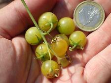 Wild Galapagos Tomato - Lycopersicon cheesmaniae - delicious rarity - 7 seeds