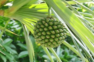 Screw Pine   Pandanus utilis   10  Seeds   (Free US Shipping)