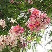 Cassia Javanica Seeds, Pink & White Shower Flowering Tree, Fragrant Garden